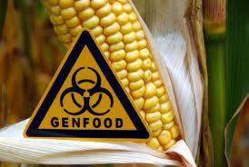 Comida ogm maíz