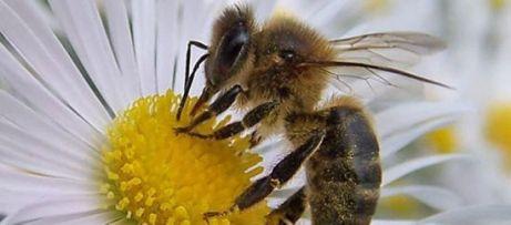 abejas firmas