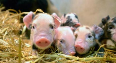 Cerdos alimentados con soja y maíz se enferman por transgénicos. (Jeff J Mitchell/Getty Images)